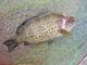 ショアラバ釣行 遊動式タイラバ試運転 根魚オンパレード