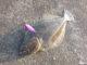 【堤防からのヒラメ】サーフ近くの堤防をスプーンで攻略 ヒラメ42cm【スプーンヒラメ】