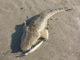 【サーフマゴチ】遠浅サーフ鉄板・sasuke120裂波で54cmマゴチ【遠浅サーフ】