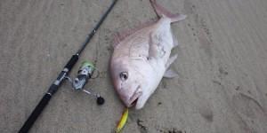 【過去のサーフの記録魚】2月に出たサーフ真鯛81cm