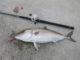 【駿河湾】サーフからマグロが狙えるなんて・・・【幼魚ねwww】